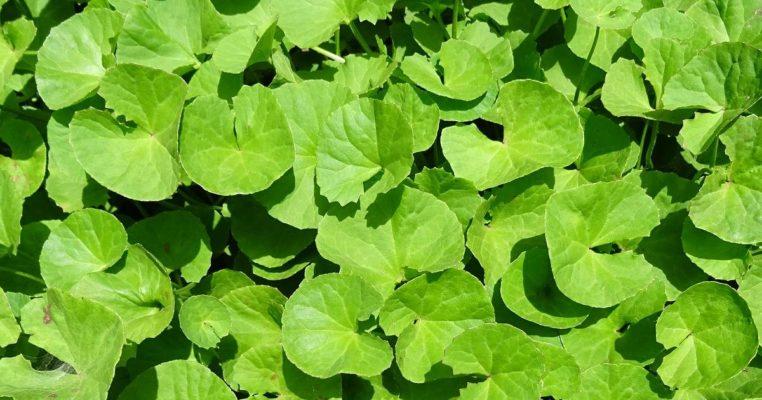 Brahmi Pflanze