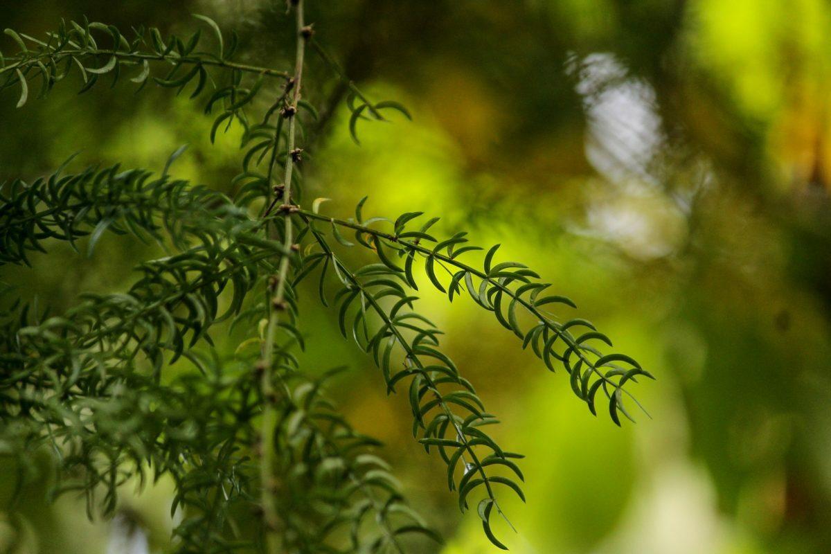 Shatavari ist seit jeher eine bedeutende Heilpflanze in der ayurvedischen Medizin.